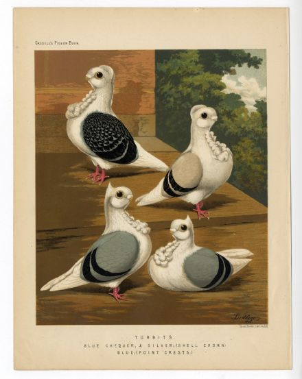 1875 Antique Print PIGEONS Blue Chequer TURBITS Victorian Lithograph J W LUDLOW